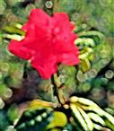 Rotblühende Alpenrose(Rhododendron(L.) - wohl eine Züchtung)