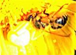 Veränderliche Krabbenspinne(Misumena vatia(Clerck 1757)) mit einer Westlichen Honigbiene(Apis mellifera(L. 1758)) als Beute