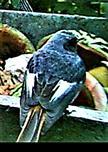 Hausrotschwanz(Phoenicurus ochruros(S.G.Gmelin 1774))(männlich)