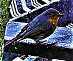 Rotkehlchen(Erithacus rubecula(L. 1758)) am Rande des Komposthaufens
