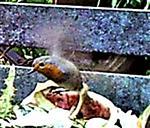 Rotkehlchen(Erithacus rubecula(L. 1758)) im Flug