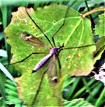 Schnake(Tipula luna(Westhoff 1879))