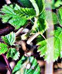 Langhornmotte(Nematopogon adasoniella(De Villers 1789))