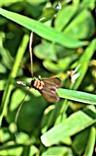 Langhornmotte(Cauchas rufimitrella(Scopoli 1763))