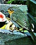 Rotkehlchen(Erithacus rubecula(L. 1758)) am Rande des Komposthaufens 07