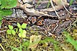 Gemeine Feuerwanzen(Pyrrhocoris apterus(L. 1758)) Wärme sowie Schutz suchend