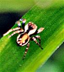 Springspinne(Evarcha falcata(Clerck 1757))(männlich)