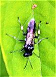 Echte Blattwespe(Macrophya alboannulata/albicincta)