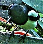 Elster(Pica pica(L. 1758)) am Komposthaufen 01