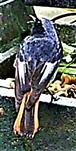 Männlicher Hausrotschwanz(Phoenicurus ochruros(S. G. Gmelin 1774))