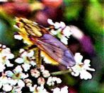 Gelbe Dungfliege(Scatophaga stercoraria(L. 1758))