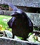 Junge Saatkrähe(Corvus frugilegus(L. 1758)) auf einem Komposthaufen