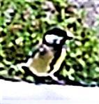 Kohlmeise(Parus major(L. 1758)) auf einem Zuflussrohr eines Tümpels