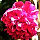 Blüte einer Gemeinen Pfingstrose(Paeonia officinalis(L.))