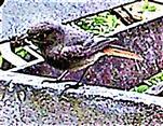 Weiblicher Hausrotschwanz(Phoenicurus ochruros(S. G. Gmelin 1774)) 01