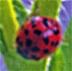 Farbmorphe des Asiatischen Marienkäfers(Harmonia axyridis(Pallas 1771))