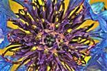 Blüteninneres einer Kornblume(Cyanus segetum(Hill.))