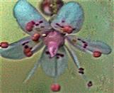 Blüte eines Porzellanblümchens(Saxifraga xurbium(D. A. Webb))