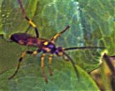 Gelbe Schlupfwespe(Amblyteles armatorius(Forster 1771))
