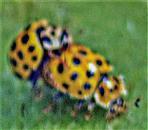 22-Punkt-(Pilz-)Marienkäfer(Psyllobora vigintiduopunctata(L. 1758)) in Kopulation