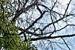 Blick von unten in den Kronenraum der Rotbuche(Fagus sylvatica(L.)), die durch die Dürre im letzten Sommer geschädigt worden ist