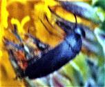 Gemeiner Scheinstachelkäfer(Anaspis frontalis(L. 1758))