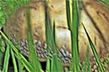 Königsfliegenpilz(Amanita regalis(Fr.  : Fr. ) Michael)