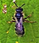 Gemeine Sandbiene(Andrena flavipes(Panzer 1799)) beim