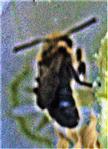 Graubiene(Rhophitoides canus(Eversmann 1852))