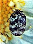 Wollkrautblütenkäfer(Anthrenus verbasci(L. 1767)) beim Blütenbesuch