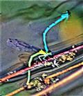 Hufeisen-Azurjungfer(Coenagrion puella(L. 1758)) im