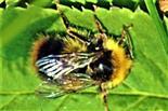 Männliche Steinhummel(Bombus lapidarius(L. 1758))