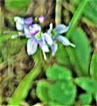 Wald-Ehrenpreis(Veronica sylvatica(L.))