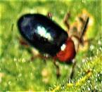(Gewöhnlicher) Malven-Erdfloh(Podagrica fuscicornis(L. 1766))
