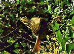 Weiblicher Hausrotschwanz(Phoenicurus ochruros(S. G. Gmelin 1774)) vor einer Nahrungsaufnahme