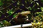 Kleiber(Sitta europaea(L. 1758)) beim Abflug