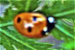 Siebenpunkt-Marienkäfer(Coccinella septempunctat(L. 1758))
