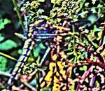 Westliche Keiljungfer(Gomphus pulchellus(Sélys 1840))(männlich)