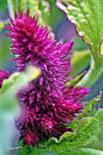 Blütestand eines Fuchsschwanzes(Amaranth)(Amaranthus(L.))