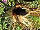 Tote Hummel(Bombus terrestris(L. 1758)) in der Blüte einer Gewöhnlichen Kratzdistel(Cirsium vulgare(L.))