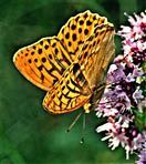 Kaisermantel(Argynnis paphia(L. 1758))(männlich) Blüten besuchend