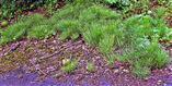 Acker-Schachtelhalm(Equisetum arvense(L.)) am Straßenrand bzw. -böschung