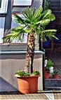 Fächerpalme(Chinesische Hanfpalme)(Kübelpflanze) (Trachycarpos fortunei(Hook.)H. Wendl.)