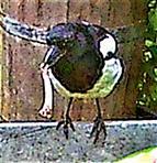 Elster(Pica pica(L. 1758)) am Komposthaufen mit einem Knochen
