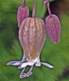 Blüte eines Aufgeblasenen Leinkrautes(Silene vulgaris(Moench)Garck)