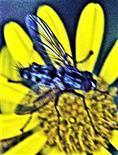 Raupenfliege(Phyllomya volvulus(Fabricius 1794))