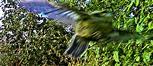Blaumeise(Cyanistes caeruleus(L. 1758)) beim Abflug