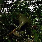 Weiblicher Hausrotschwanz(Phoenicurus ochruros(S. G. Gmelin 1774))