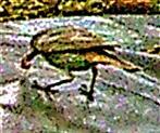 Weiblicher Hausrotschwanz(Phoenicurus ochruros(S. G. Gmelin 1774)) mit Himbeere 01