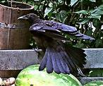 Saatkrähe(Corvus frugilegus(L. 1758)) Beginn des Abfluges